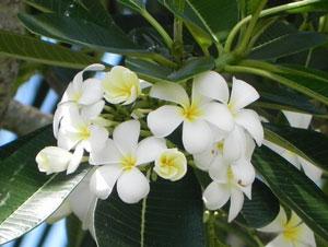 floare-de-tiare