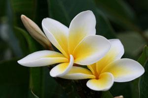 parfumuri-frangipani