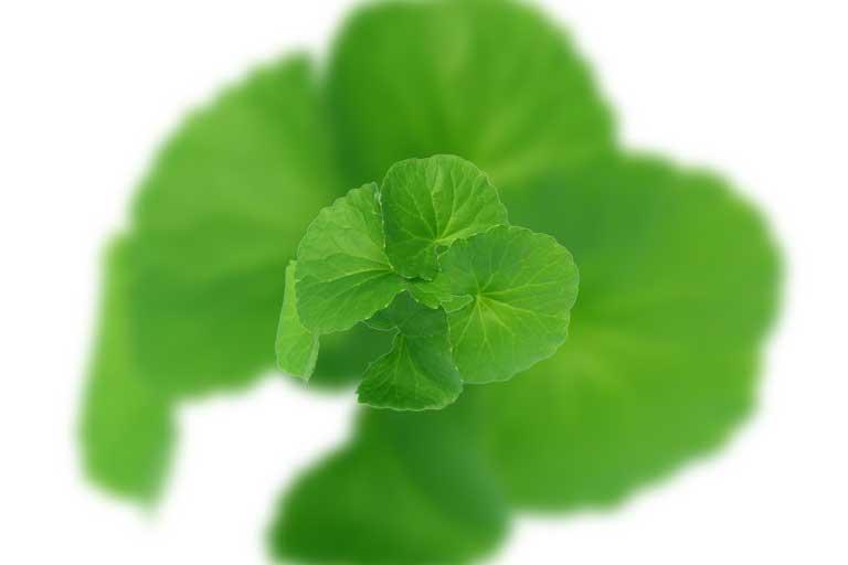 Centella asiatica este o planta ce a crescut ca importanta in ultima perioada si este in tendinte, doar ca ea a fost folosita de secole pentru o serie impresionanta de beneficii.